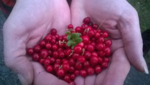 Lingonberries from Lapland