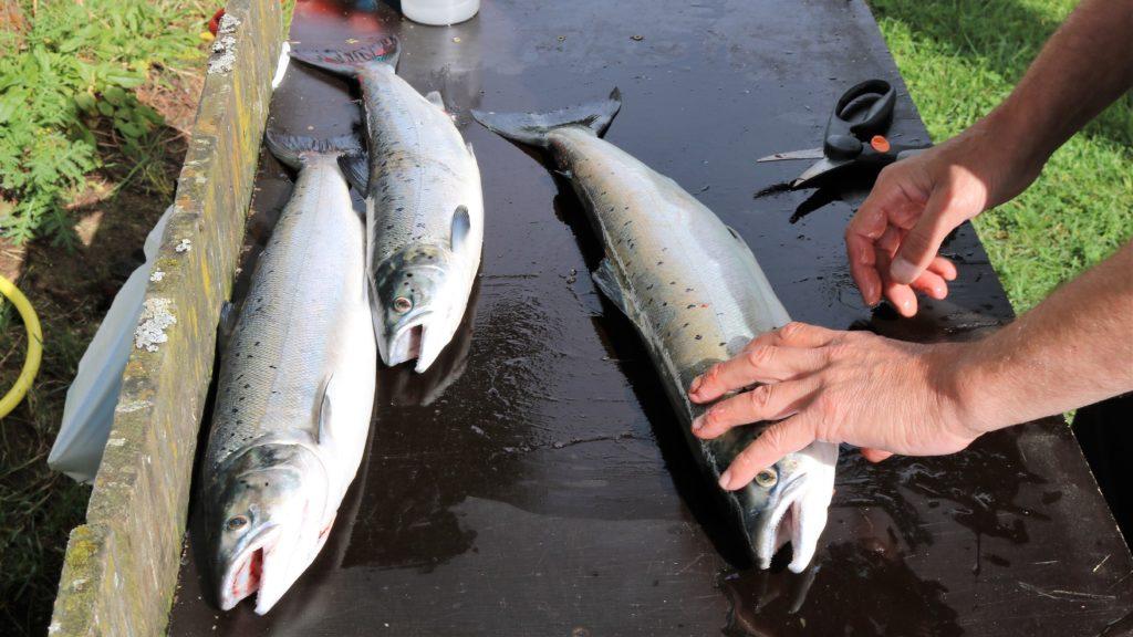 Storöya Gård og Fiske tarjoaa hyvän paikan saaliin käsittelyyn